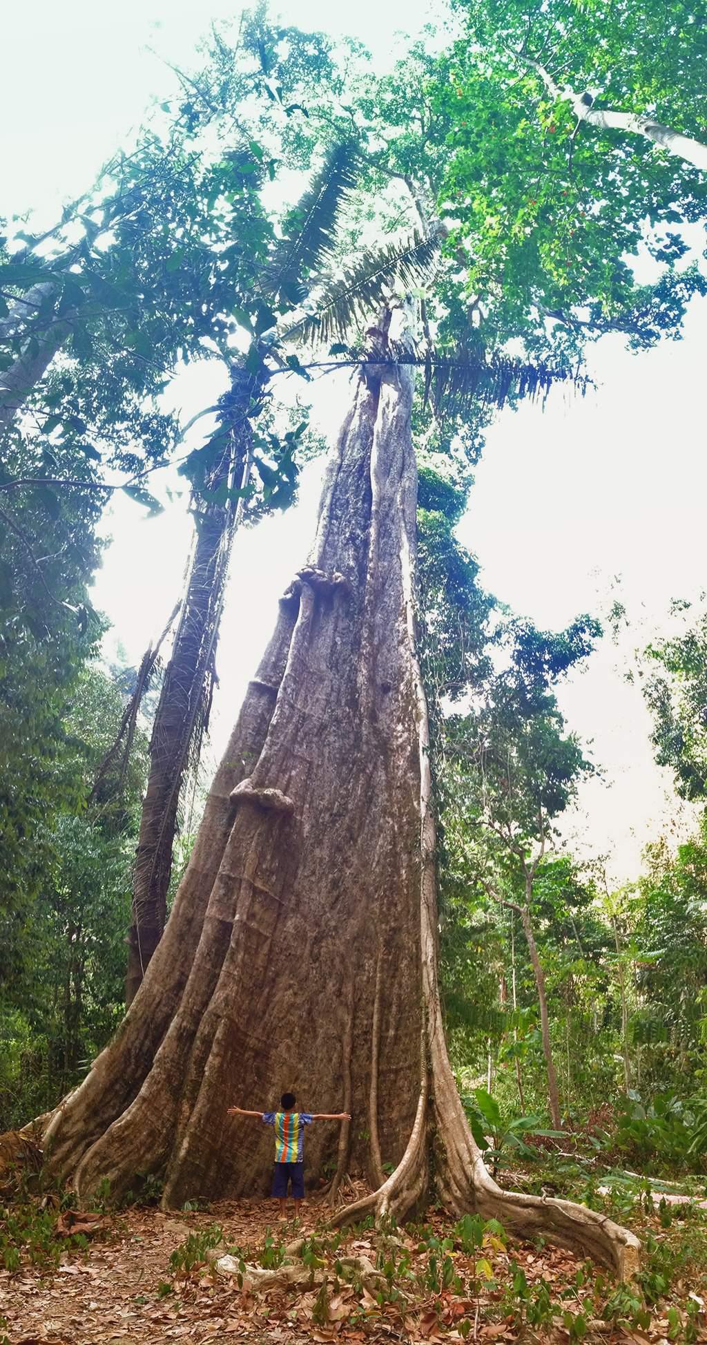 ต้นไ้ม้ใหญ่ที่ถ้ำภูผาเพชร
